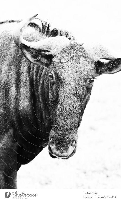 du hornochse Ferien & Urlaub & Reisen Tourismus Ausflug Abenteuer Ferne Freiheit Safari Natur Wildtier Tiergesicht Gnu wildbeast 1 außergewöhnlich exotisch