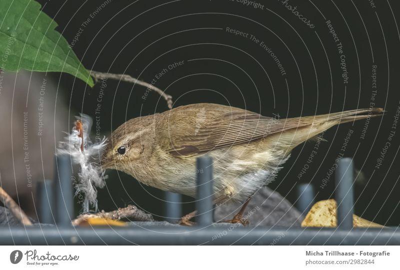 Vogel mit Feder im Schnabel Natur Tier Sonnenlicht Schönes Wetter Blatt Garten Zaun Wildtier Tiergesicht Flügel Fitis Auge gefiedert 1 bauen nah natürlich gelb