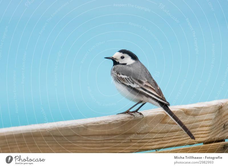 Bachstelze auf dem Holzzaun Natur Wasser Himmel Sonnenlicht Schönes Wetter Tier Wildtier Vogel Tiergesicht Flügel Krallen Kopf Schnabel Auge Feder gefiedert 1