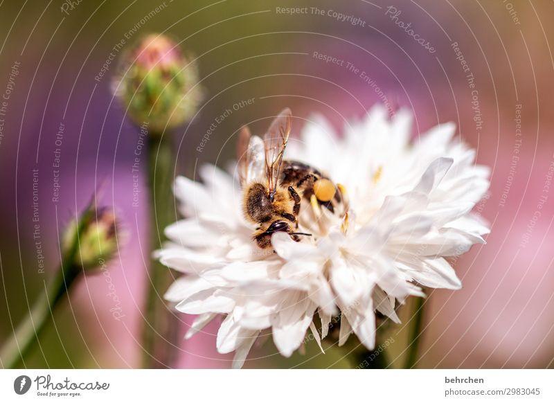 sommerzeit Natur Sommer Pflanze schön Blume Tier Wärme Blüte Wiese klein Garten fliegen Wildtier Flügel beobachten Biene