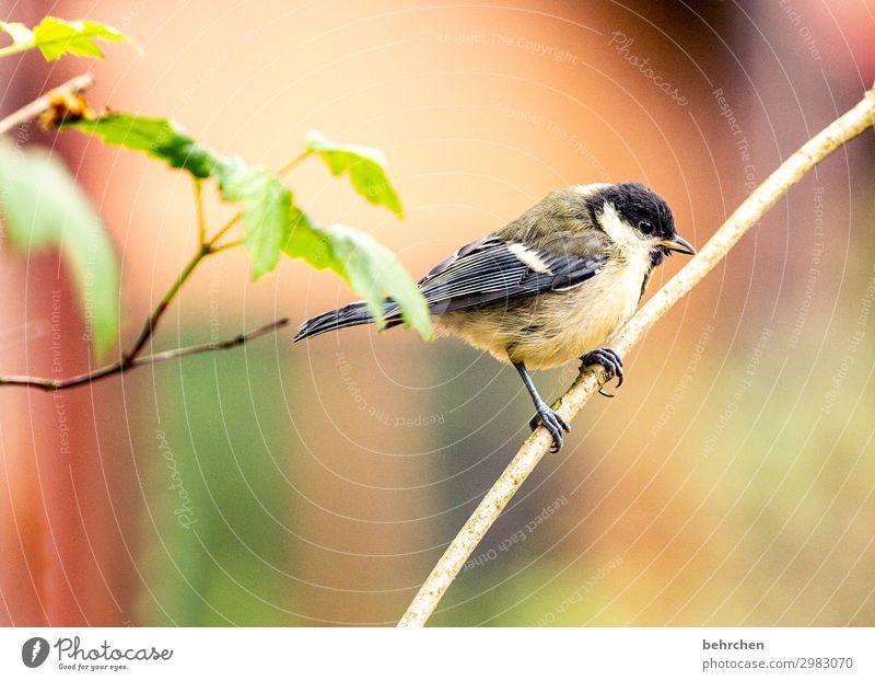 kleine meise Baum Blatt Wald Wildtier Vogel Tiergesicht Flügel Meisen Feder Schnabel Krallen fantastisch schön Ast festhalten fliegen Freiheit Umweltschutz