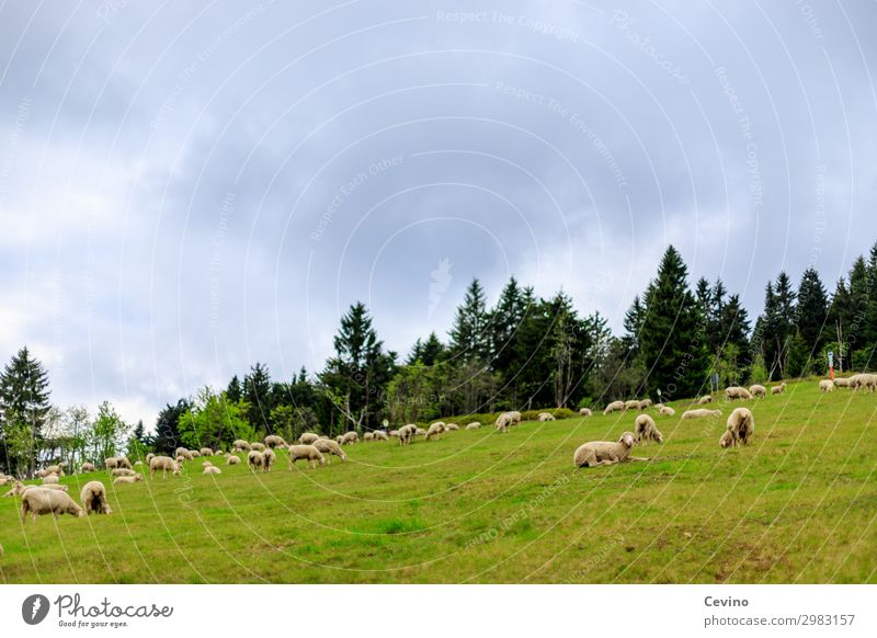 Schafe Tier Nutztier Schafherde Herde füttern Wiese Fressen Tanne bedeckter Himmel Futter Lebensmittel Tiergruppe tierisch Farbfoto Außenaufnahme Tag