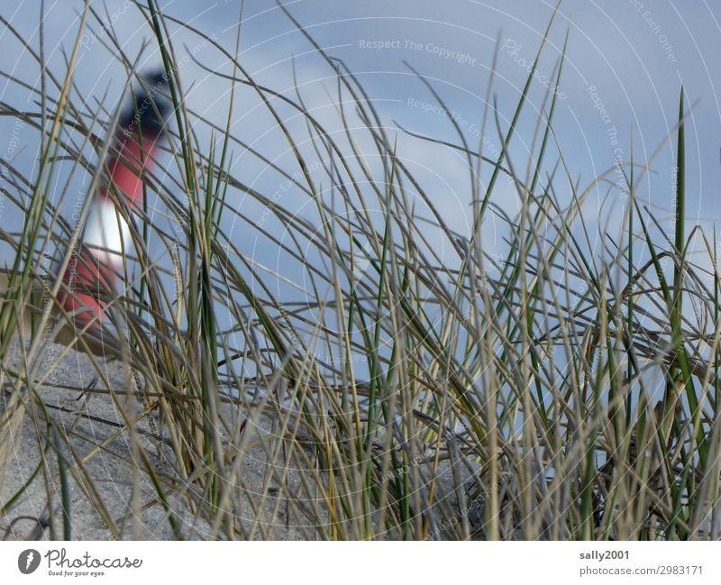 Schieflage... Dünengras Gras Leuchtturm schief Sand schräg unscharf blauer Himmel Nordsee Küste Strand umkippen umfallen schiefer Turm Sylt Hörnum