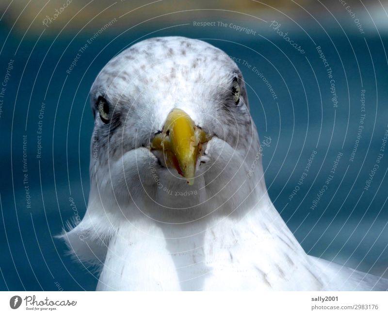 Moin... Tier Vogel Schnabel Möwe Möwenvögel 1 Blick frech Neugier rebellisch Spitze Aggression Wind Farbfoto Außenaufnahme Tag Starke Tiefenschärfe Tierporträt