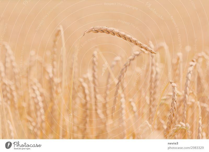 Dinkel Lebensmittel Getreide Ernährung Natur Pflanze Sommer Gras Nutzpflanze Feld Gesundheit Frühlingsgefühle Landwirtschaft Getreidefeld Getreideernte