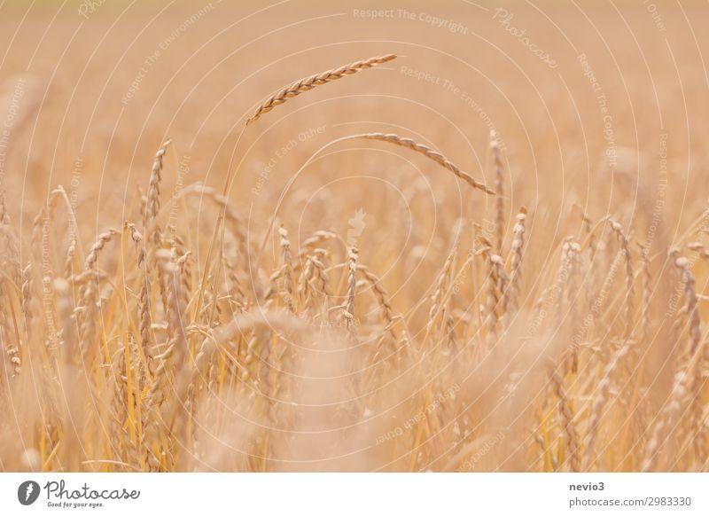 Habe die Ähre Sommer schön Landschaft Wärme gelb natürlich Deutschland Feld gold Schönes Wetter Landwirtschaft trocken Getreide nachhaltig Vegane Ernährung