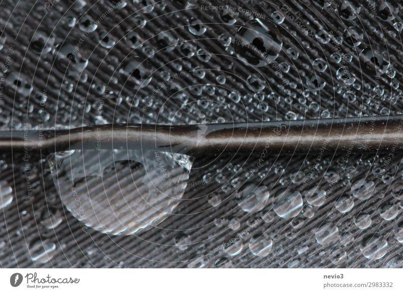 Nahaufnahme Feder mit Tautropfen Natur Tier Vogel Taube 1 außergewöhnlich dunkel schön nass natürlich grau Federvieh Federschmuck Regen Wassertropfen fein