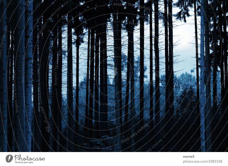 Der blaue Wald Umwelt Natur Landschaft Herbst Winter Baum kalt Nadelbaum Nadelwald Waldrand Waldlichtung Baumstamm Baumrinde viele Gruppe von Objekten Ast