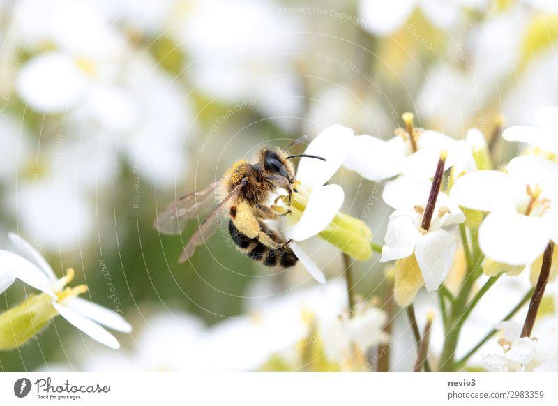 Biene sammelt Pollen Insekt Blüte Blume Makroaufnahme Honigbiene Garten Nektar Tier Natur Frühling Pollenhöschen Insektenschutz Artenschutz fleißig Umwelt