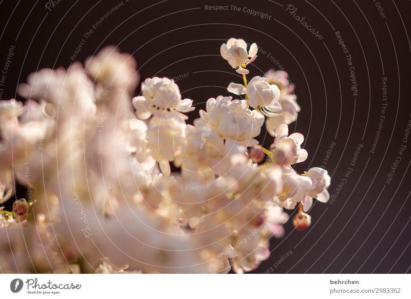 flauscheblumen Blütenblätter Blütenblatt Garten Schönheit schön Blume Sonne Natur Sonnenuntergang Gegenlicht Dämmerung blühen Duft sommerlich zart Leichtigkeit
