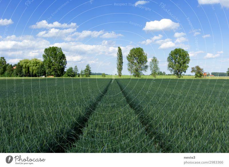 Baumreihe Umwelt Natur Landschaft Frühling Sommer Wetter Schönes Wetter Grünpflanze Wiese Feld schön blau grün Frühlingsgefühle Reihe Getreide Getreidefeld
