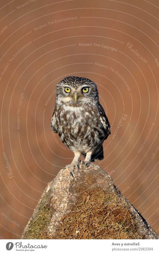Eule (Athene noctua), die auf einem Stein steht. Natur Tier Felsen Wildtier Vogel Tiergesicht 1 braun gelb gold grau schwarz silber Farbfoto Außenaufnahme
