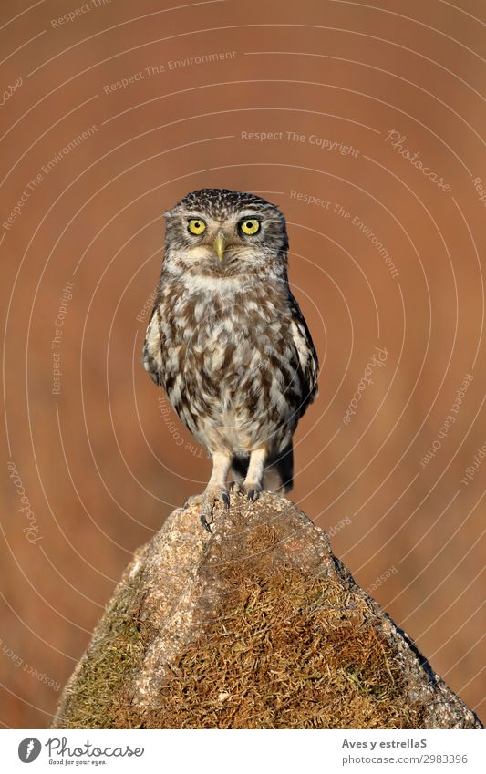 Eule (Athene noctua), die auf einem Stein steht. Natur Tier Feld Wald Felsen Wildtier Vogel 1 frei listig lustig braun grau silber weiß Farbfoto Außenaufnahme