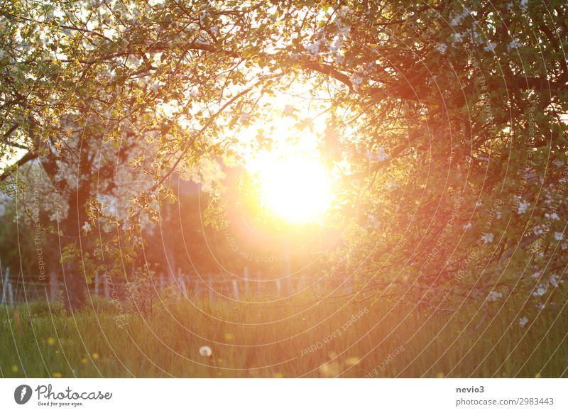 Alte Apfelbäume in warmem Licht Umwelt Natur Landschaft Sonne Sonnenaufgang Sonnenuntergang Sonnenlicht Sommer Baum Blume Gras Wiese schön gelb grün