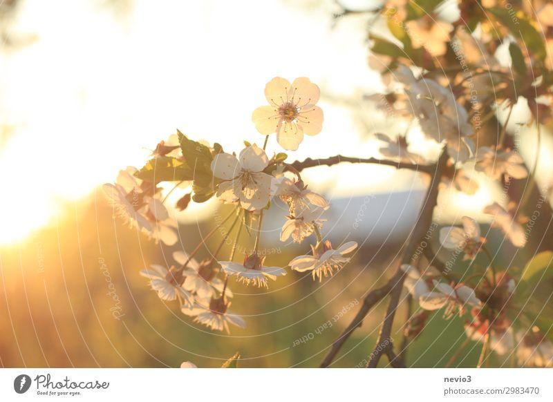 Sommerblüten Umwelt Natur Sonne Sonnenaufgang Sonnenuntergang Sonnenlicht Schönes Wetter Baum schön gelb gold Lebensfreude Frühlingsgefühle Blüte Blütenpflanze