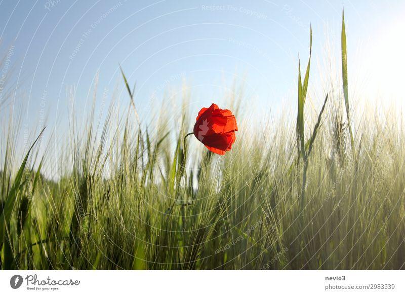 Mohnblüte im Getreidefeld Umwelt Landschaft Sonnenlicht Frühling Sommer Wetter Schönes Wetter Wärme nachhaltig natürlich schön grün rot Frühlingsgefühle