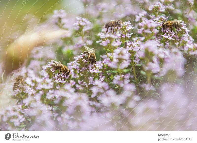 honeybee Natur Pflanze Tier Biene fliegen Apis mellifera Apoidea Apiformes bees Apidae Pollen Echte Bienen real bee Honey Honigbiene Europäische Honigbiene
