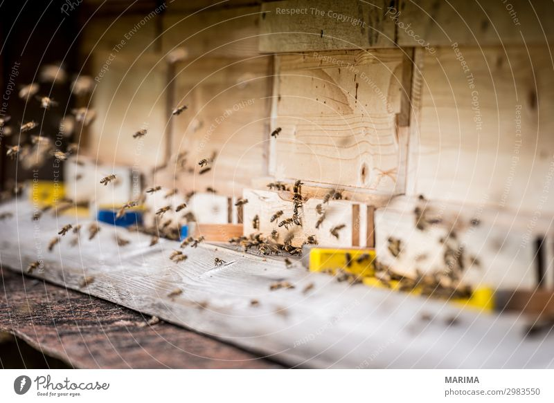 Honigbiene Apis mellifera Apoidea Biene; Biene; Apiformes Bienen; Bienen; Apidae Bienenhaus Bienenstock Blütenstaub; Pollen Echte Bienen; Echte Biene; Apidae