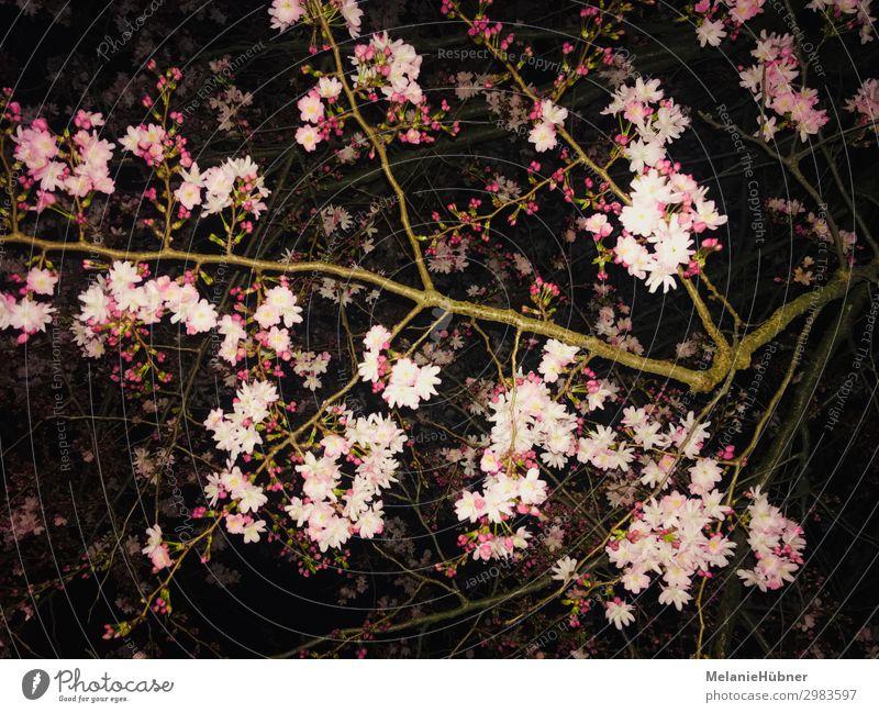 Kirschblüten Natur Pflanze Nachthimmel Blume Blüte schön Kirsche Frühling Nachtaufnahme Farbfoto mehrfarbig
