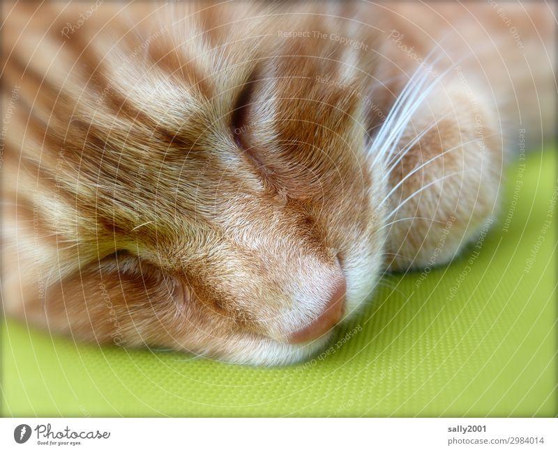 ausschlafen... Tier Haustier Katze Tiergesicht Schnurrhaar Nase 1 genießen schön niedlich rot Gelassenheit ruhig Zufriedenheit Vertrauen Müdigkeit Kissen