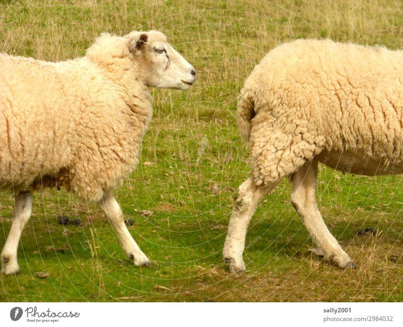 Im Gleichschritt... Sommer Gras Tier Nutztier Schaf Schafherde 2 Tierpaar Bewegung gehen wandern Freundlichkeit Zusammensein Partnerschaft Wege & Pfade