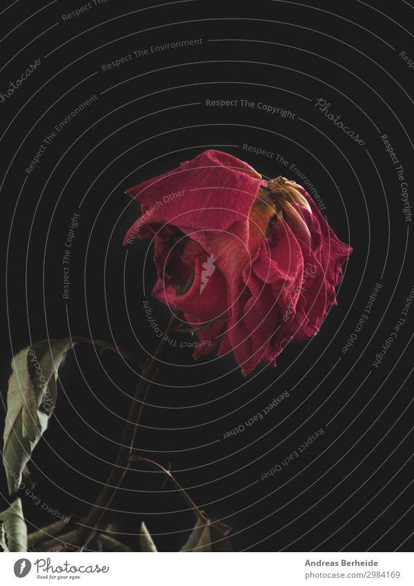 Die Schönheit bleibt Natur Pflanze schön Hintergrundbild Leben Liebe Stil Zeit Vergänglichkeit Wandel & Veränderung planen Trauer Rose altehrwürdig Valentinstag