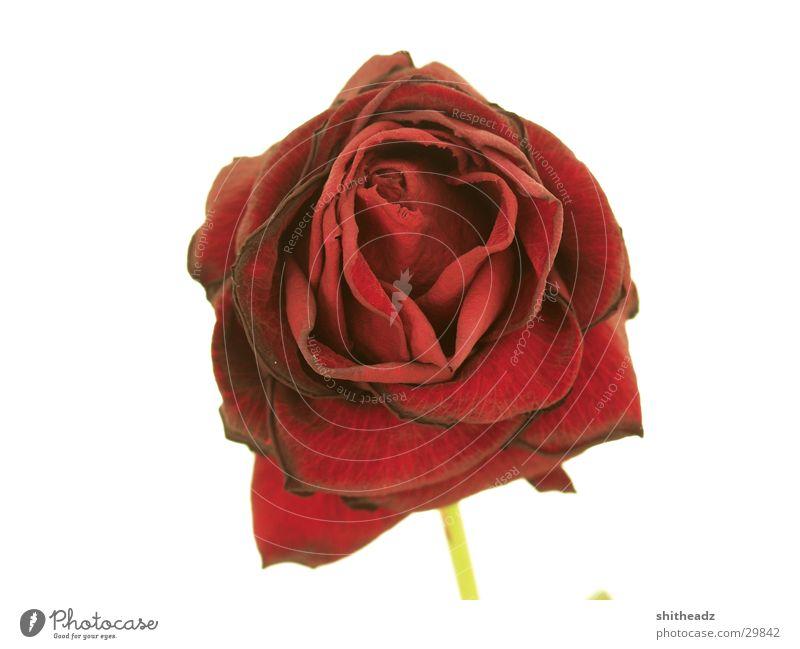 Rose ... Natur weiß rot Blume Gefühle