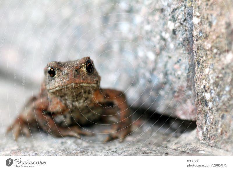Finster schauende Kröte Tier Frosch 1 braun grau Gefühle Stimmung Neid gereizt Aggression Krötenwanderung Froschperspektive Froschlurche Naturschutzgebiet