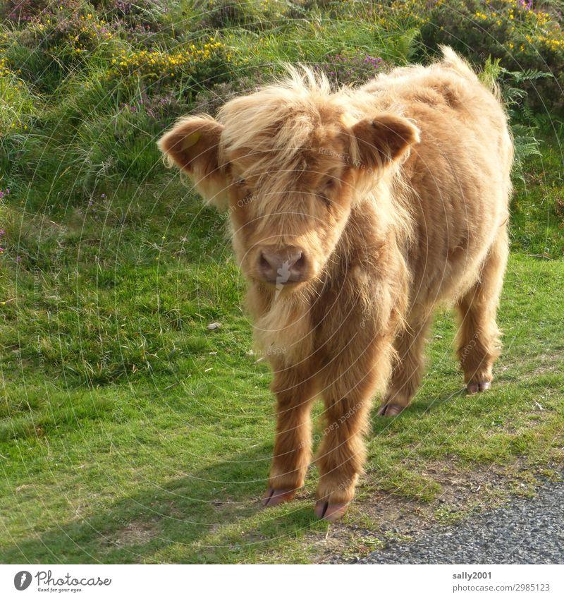 Wer spielt mit mir...? Tier Nutztier Kuh Kalb Schottisches Hochlandrind 1 Tierjunges beobachten stehen warten blond Freundlichkeit Neugier niedlich weich Weide