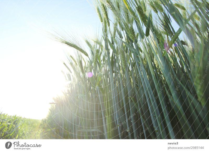Gerstenfeld im Sommer Natur Landschaft Frühling Pflanze Feld grün Gerstenähre Ähren Lebensmittel Nahrungsmittelhilfe Ernährung Gesundheit gesundheitsschädlich