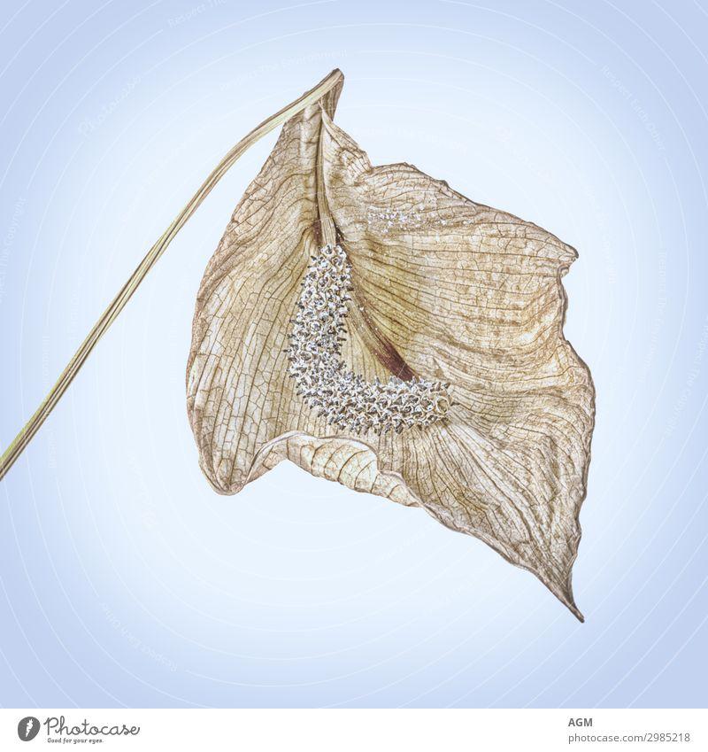 vertrocknete Blüte einer Einblatt Pflnze Natur alt Pflanze blau Erotik Leben gelb Senior Gefühle Bewegung Zeit Tod Linie Wachstum elegant ästhetisch