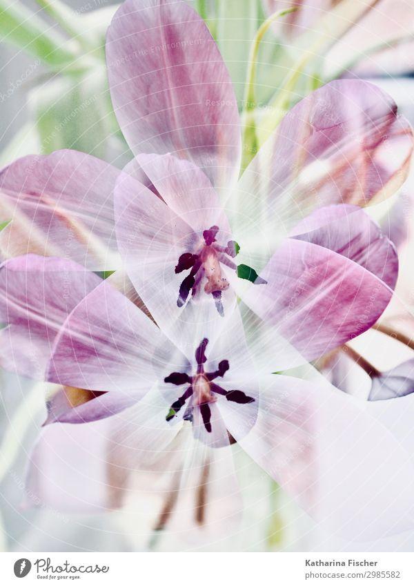 Tulpen Doppelbelichtung Natur Pflanze Frühling Sommer Herbst Winter Blatt Blüte Blumenstrauß Blühend mehrfarbig grün violett rosa schwarz weiß Tulpenblüte
