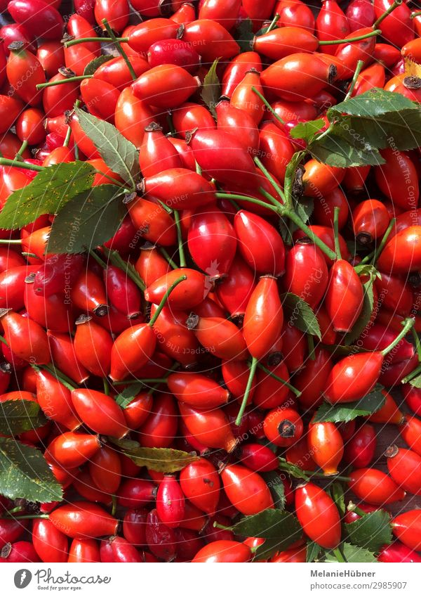 Hagebutte Pflanze Gesundheit Hagebutten rot Marmelade Zentralperspektive Garten Tee Heilpflanzen Farbfoto mehrfarbig
