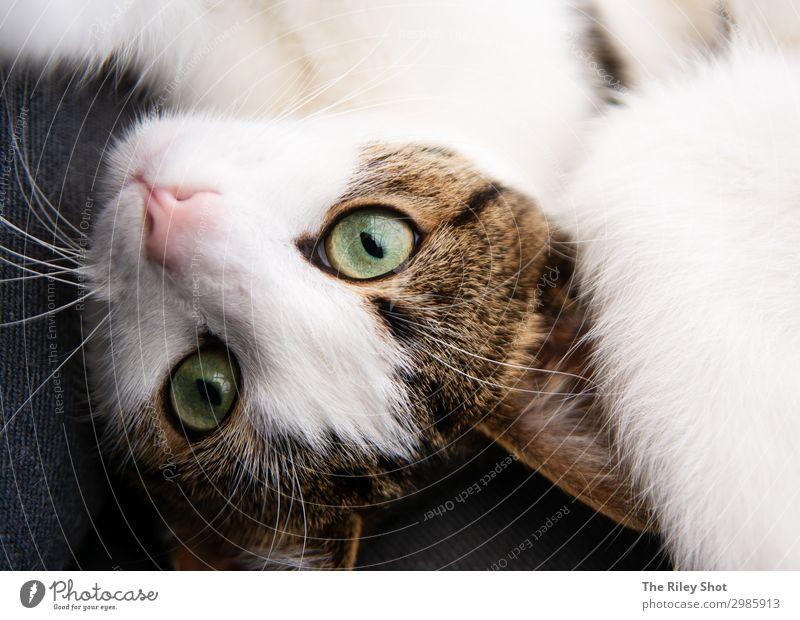Porträt einer englischen Hauskatze schön Gesicht Garten Natur Tier Pelzmantel Haustier Katze Tierjunges Liebe Blick sitzen niedlich grau Yorkshire reizvoll