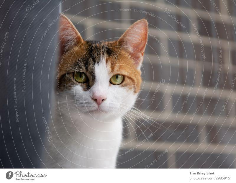 Porträt einer englischen Hauskatze schön Gesicht Garten Natur Tier Pelzmantel Haustier Katze Tierjunges sitzen niedlich grau Yorkshire reizvoll Tierpflege Auge