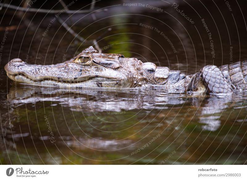 Alligator im Tortuguero Nationalpark von Costa Rica Mund Zähne Natur Tier Baum Park Urwald Fluss Lächeln wild Wut weiß gefährlich tortuguero national Krokodil