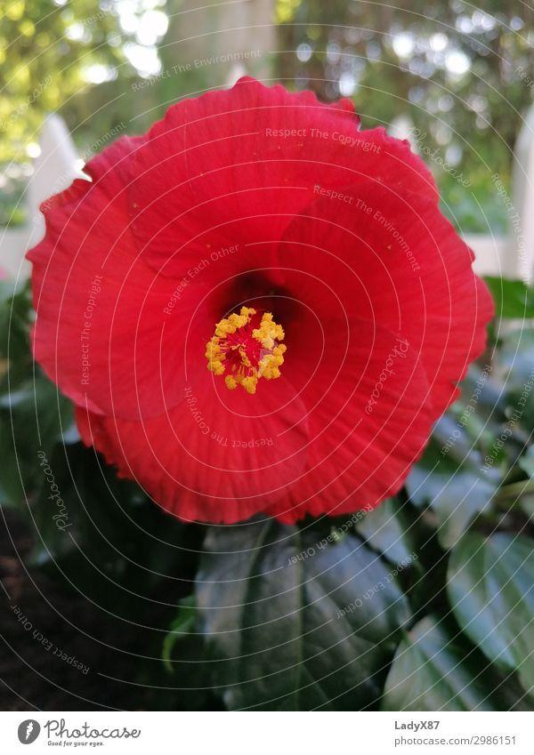 Hibiskus Natur Sommer Pflanze schön rot Blume Blüte Frühling Blühend Duft