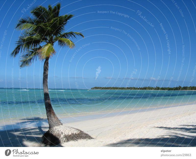 palm Palme