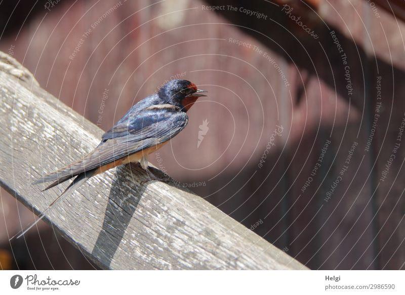 eine junge Schwalbe sitzt im Sonnenlicht auf einem Treppengeländer aus Holz Umwelt Natur Tier Sommer Schönes Wetter Mauer Wand Vogel Schwalben 1 Tierjunges