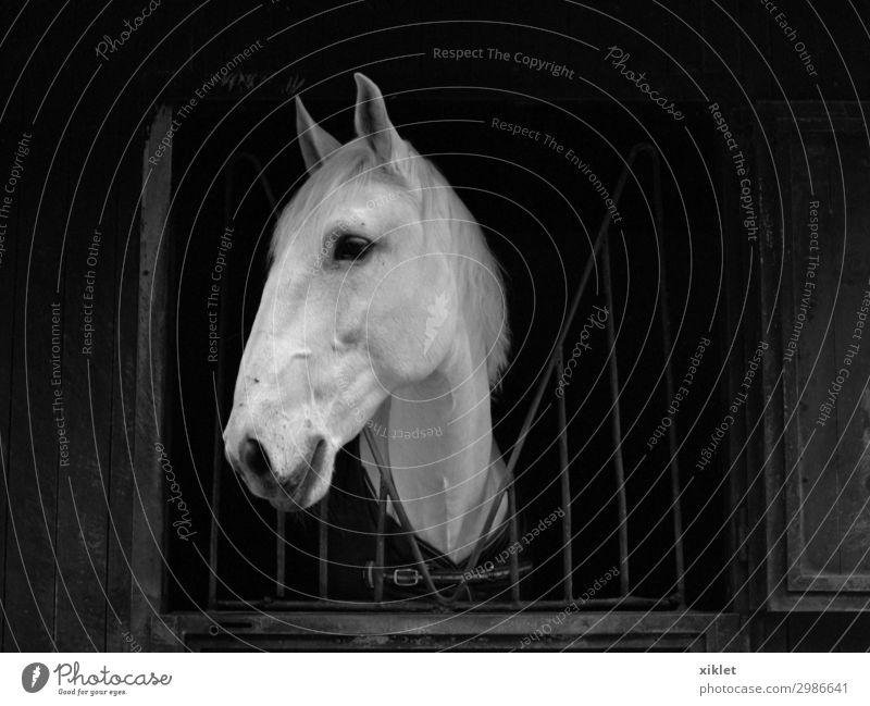 schön weiß Tier ruhig Ferne schwarz Freiheit wild Angst trist beobachten Sicherheit Pferd Stahl fangen Vorsicht