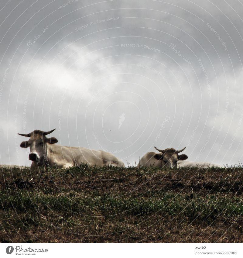 Die Jungs fürs Grobe Wolken Tier ruhig Leben Wiese Zusammensein warten beobachten bedrohlich Risiko Weide Gelassenheit Wachsamkeit Fressen Aggression Interesse