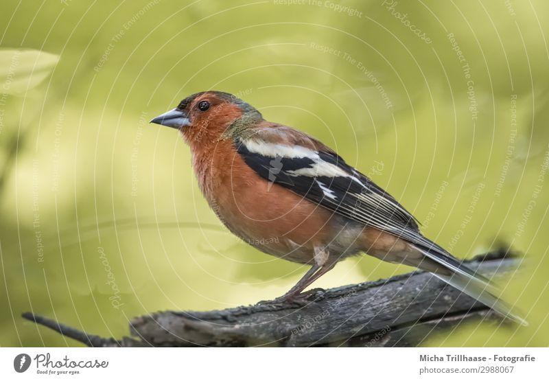 Buchfink im Sonnenschein Natur Tier Sonnenlicht Schönes Wetter Baum Blatt Ast Wildtier Vogel Tiergesicht Flügel Krallen Schnabel Auge Feder gefiedert 1