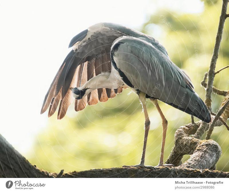 Reiher bei der Gefiederpflege Himmel Natur grün weiß Baum Tier Blatt schwarz gelb orange Vogel grau Kopf leuchten Wildtier Feder