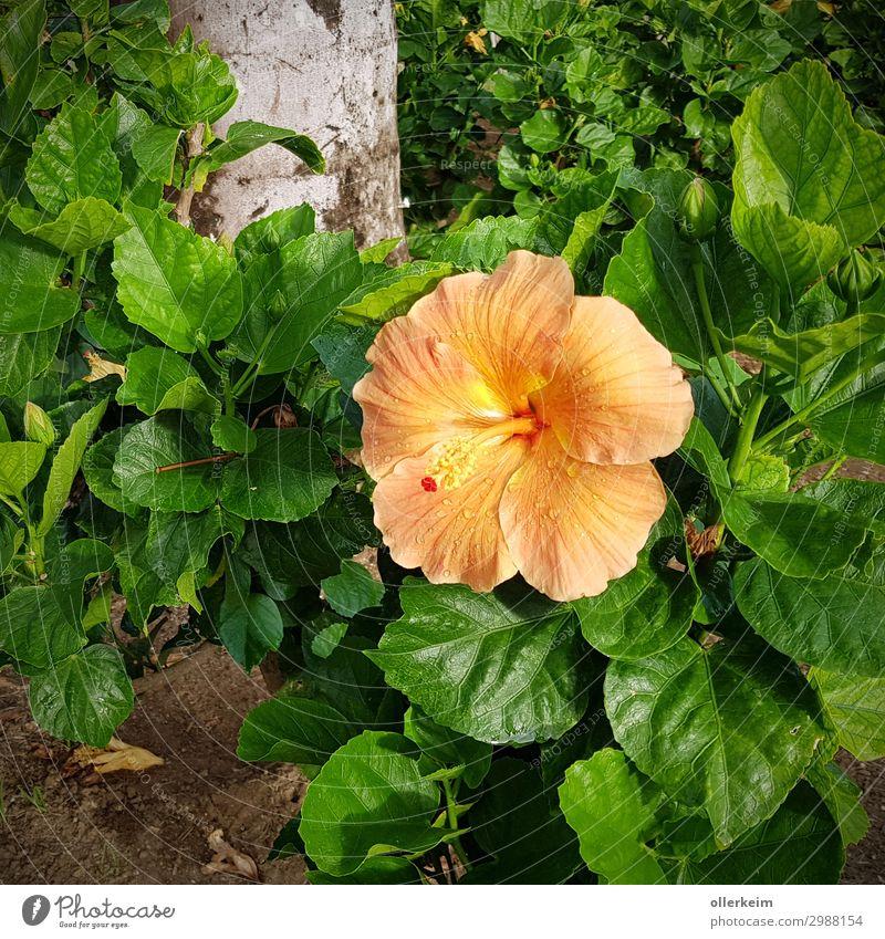 Prachtblüte Umwelt Natur Pflanze Sommer Blume exotisch grau grün orange Farbfoto Außenaufnahme Nahaufnahme Menschenleer Tag Licht Schatten Porträt