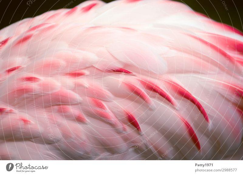 Flamingo Tier Wildtier Vogel Flügel Feder 1 elegant exotisch schön weich rosa weiß Natur Tourismus Farbfoto Detailaufnahme Menschenleer Tierporträt
