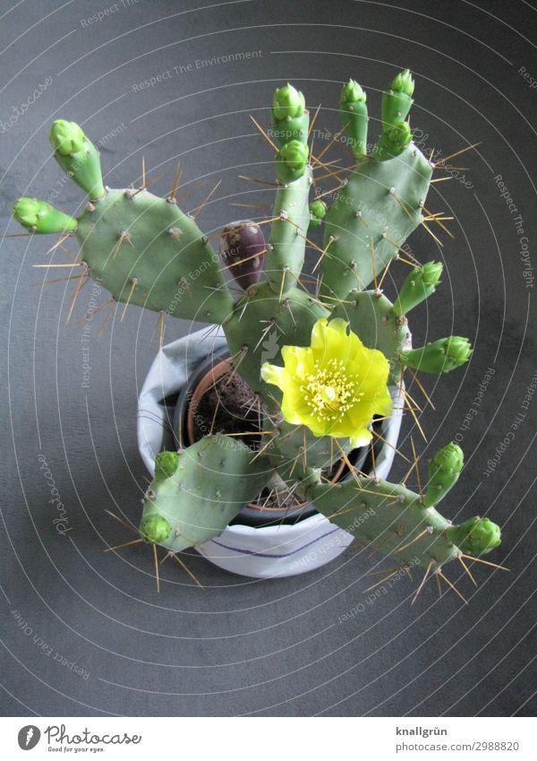 Kaktusblüte Pflanze Grünpflanze Kakteenblüte Blumentopf Blühend exotisch gelb grau grün Natur Opuntia Echinocarpa Farbfoto Studioaufnahme Menschenleer