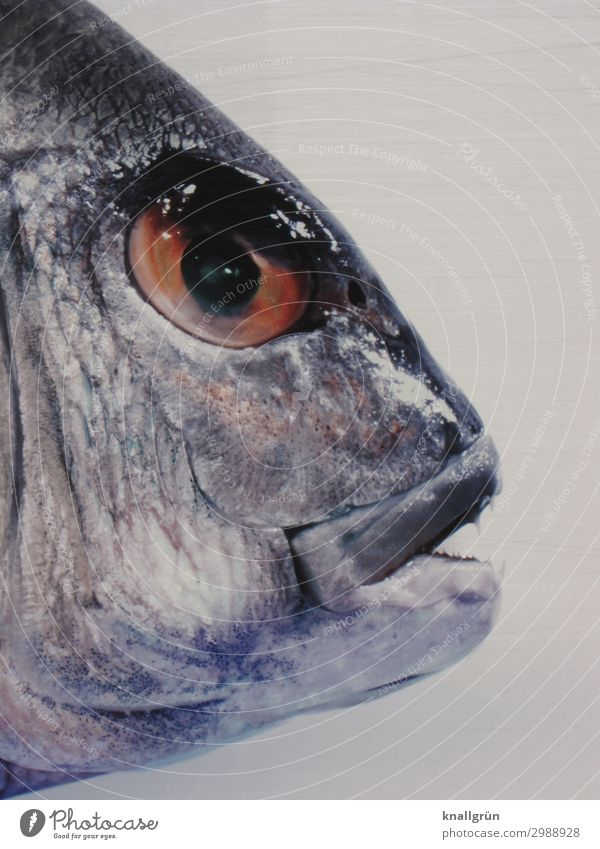 Fischkopp Lebensmittel Ernährung Tier 1 frisch Gesundheit glänzend lecker grau silber Tod Umwelt Fischauge Farbfoto Studioaufnahme Menschenleer