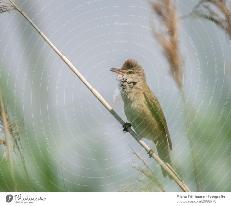 Teichrohrsänger im Schilf Himmel Natur Pflanze blau grün Tier gelb Auge natürlich klein See orange Vogel Wildtier Feder Schönes Wetter