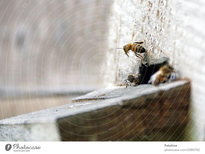 Abflug Tier natürlich klein braun fliegen hell frei nah Biene Schwarm Nutztier fleißig Bienenstock Summen