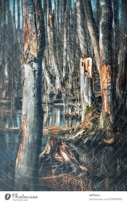 moorleichen Moor Baum kahl Wasser Tod Umwelt Natur Überleben Moorsee Sumpf Teich Vergänglichkeit Farbfoto Außenaufnahme